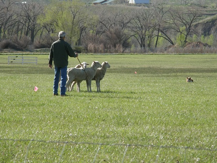 Border Collie and Handler at work with four sheep during Dog Trials.
