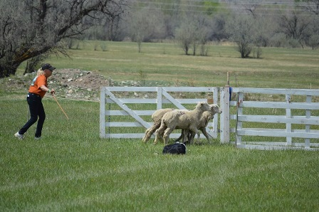 A handler and her dog successfully complete the trial as the sheep enter the pen.