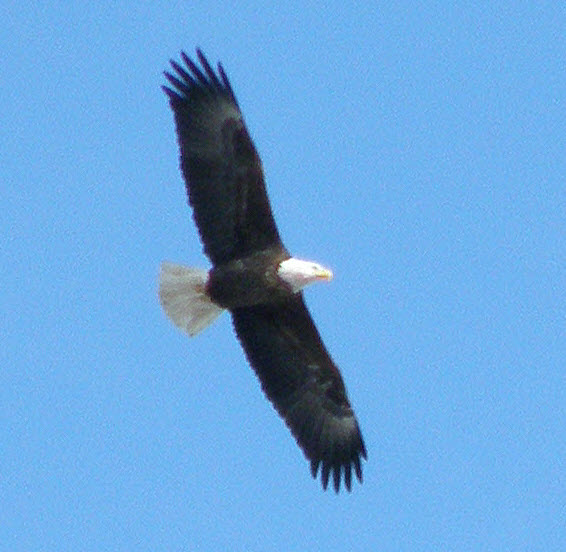 Soaring Bald Eagle over Colwell Cedars Retreat